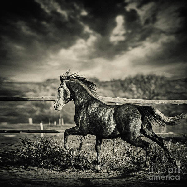 Photograph - Beautiful Stallion Running by Dimitar Hristov