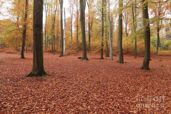 Woodland Wall Art - Photograph - Beech Forest In Autumn by Michal Boubin