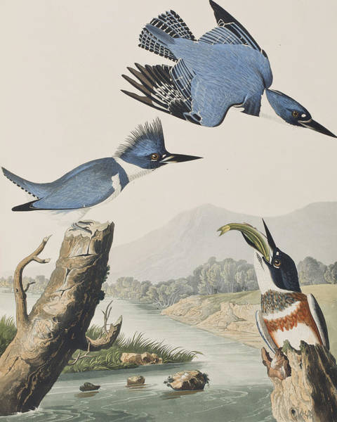 Stump Painting - Belted Kingfisher by John James Audubon