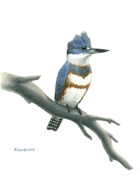 Wetland Drawing - Belted Kingfisher Perched by Kalen Malueg
