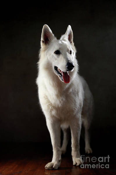 Wall Art - Photograph - Berger Blanc Suisse by Jana Behr