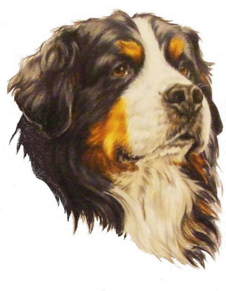 Drawing - Bernese Mountain Dog In Colored Pencil by Barbara Keith