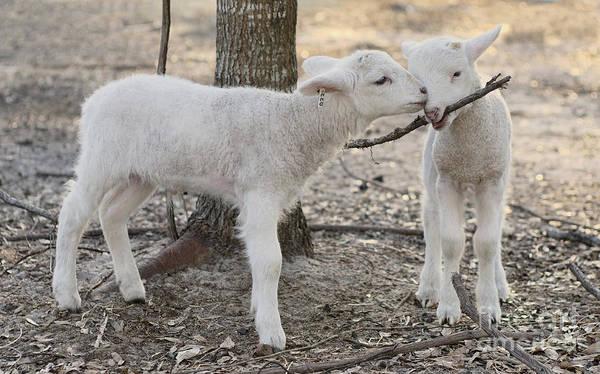 Sheep Photograph - Best Friends by Warren Sarle