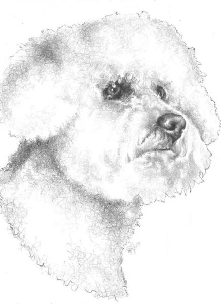 Wall Art - Drawing - Bichon Frise by Barbara Keith
