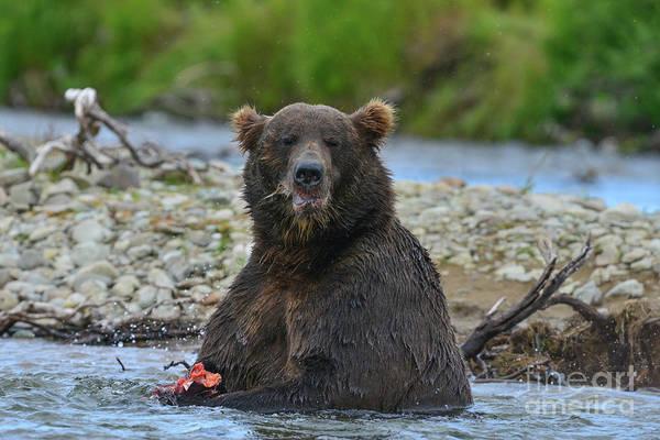 Photograph - Big Brown Bear Eating Salmon In Stream by Dan Friend