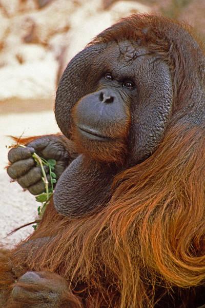 Orangutan Photograph - Big Daddy by Michele Burgess