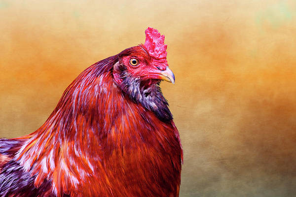 Cock Photograph - Big Red Rooster by Carol Leigh