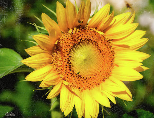 Photograph - Big Sunflower by Anna Louise