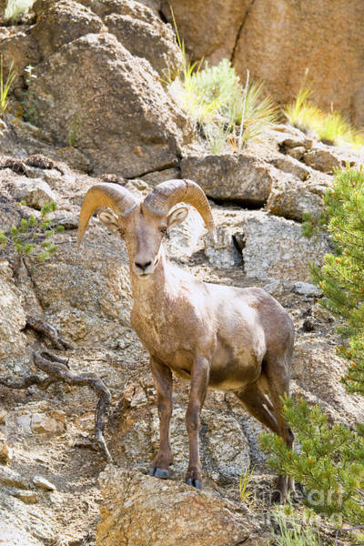 Photograph - Bighorn Sheep In The San Isabel National Forest by Steve Krull