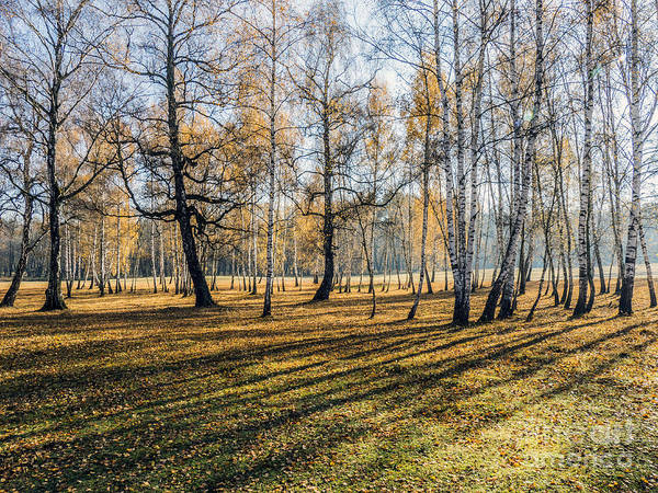 Photograph - Birch Forest In Sunlight In The Morning by Odon Czintos