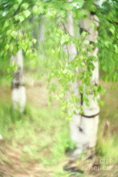 Wall Art - Photograph - Birch In Spring by Priska Wettstein