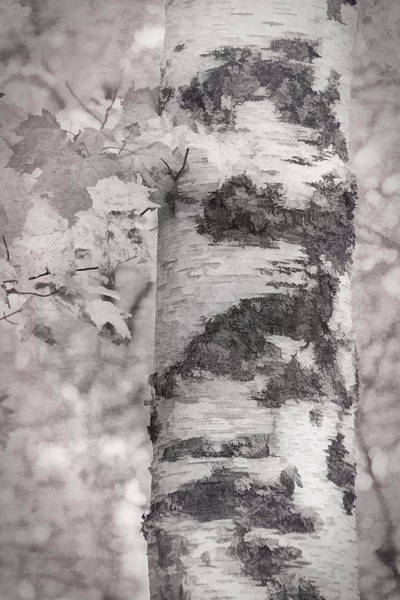 Photograph - Birches In Autumn by Leda Robertson