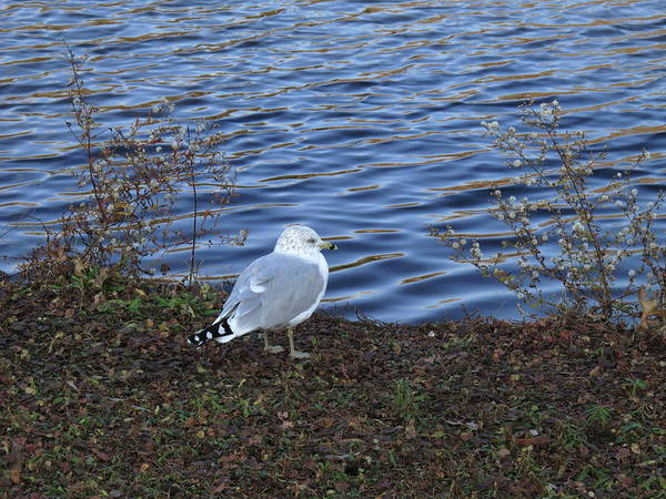 Photograph - Bird And Pond by Frank Romeo