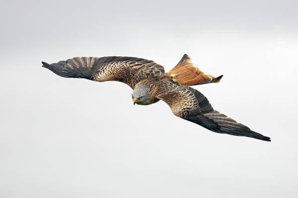 Accipitridae Wall Art - Photograph - Bird Of Prey In Flight by Grant Glendinning