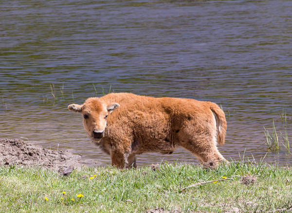 Photograph - Bison Calf by Michael Chatt