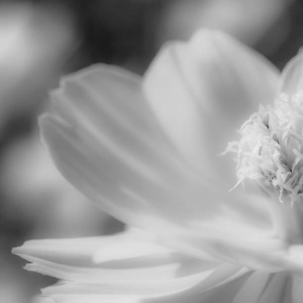 Photograph - Black And White Flowers by Tran Minh Quan