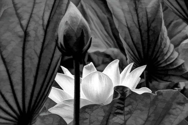 Wall Art - Photograph - Black And White Lotus by Geraldine Scull
