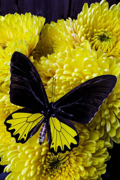 Mums Photograph - Black And Yellow Butterfly by Garry Gay
