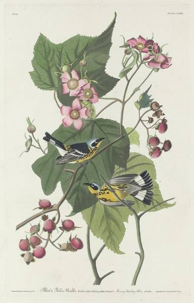 Wall Art - Drawing - Black And Yellow Warbler by Dreyer Wildlife Print Collections