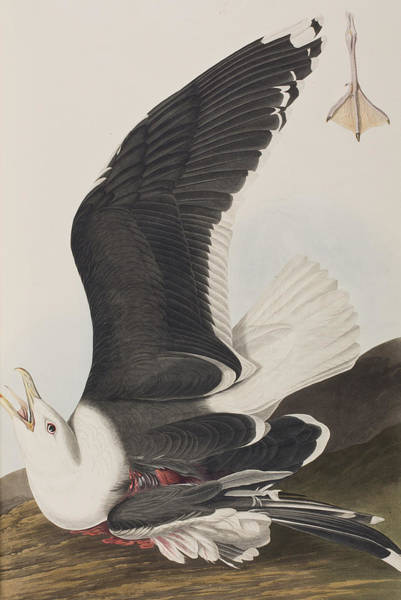 Gull Painting - Black Backed Gull by John James Audubon