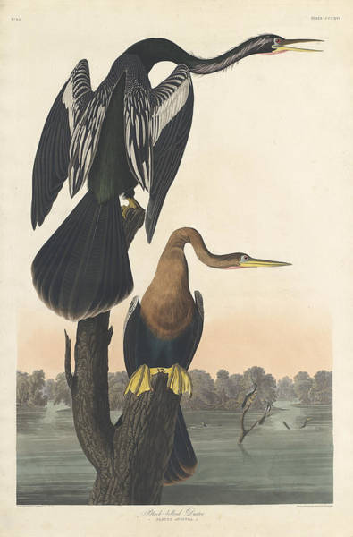 Painting - Black-bellied Darter by John James Audubon