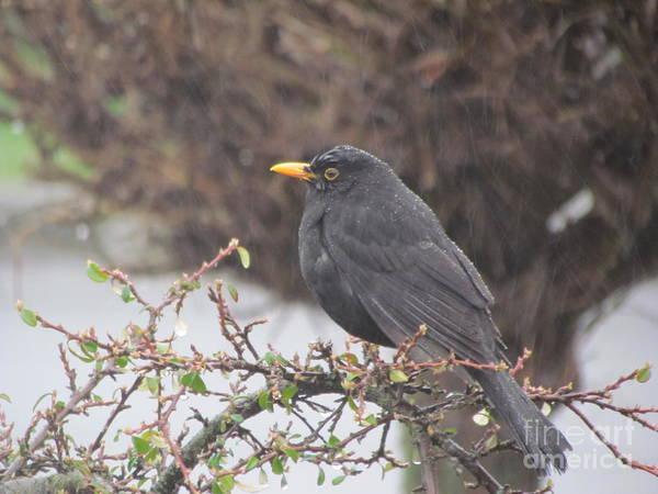 Photograph - Black Bird  by Joyce Woodhouse