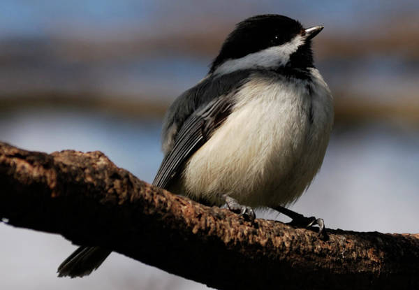 Photograph - Black-capped Chickadee by Randy Bodkins