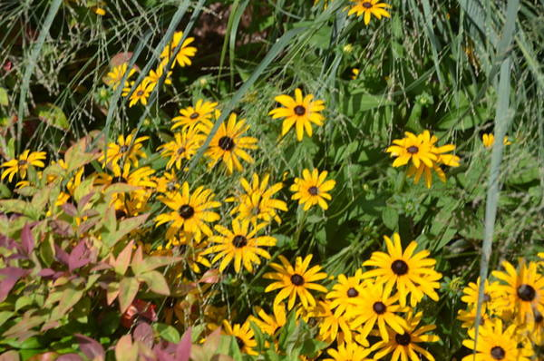 Photograph - Black Eyed Susans by Bill Cannon