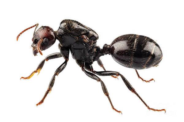 Arthropods Painting -  Black Garden Ant Species Lasius Niger by Pablo Romero
