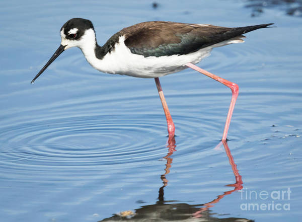 Photograph - Black-necked Stilt by Ricky L Jones