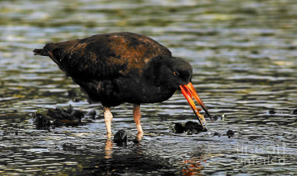 Painting - Black Oystercatcher by Sue Harper