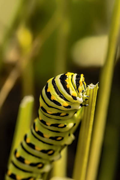 Photograph - Black Swallowtail Butterfly Caterpillar  by Kay Brewer