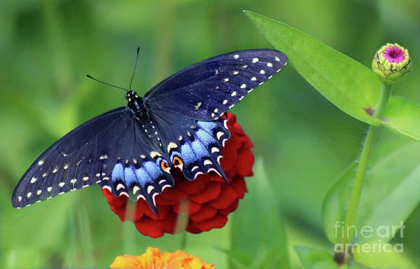 Photograph - Black Swallowtail Butterfly In Garden by Karen Adams
