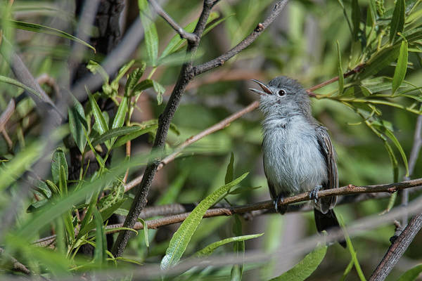 Photograph - Black-tailed Gnatcatcher by Dan McManus