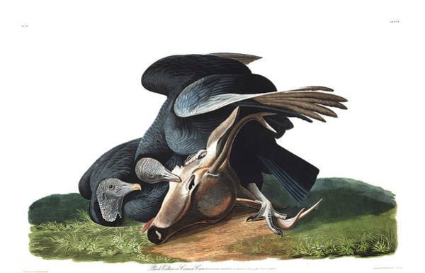 Crows Nest Wall Art - Painting - Black Vulture Or Carrion Crow by John James Audubon