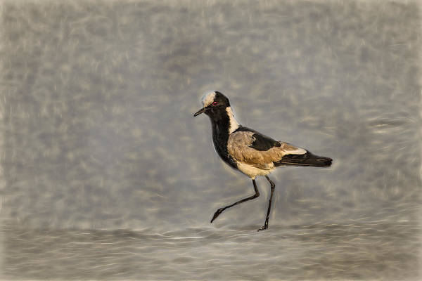 Photograph - Black-winged Lapwing Glow by Kay Brewer