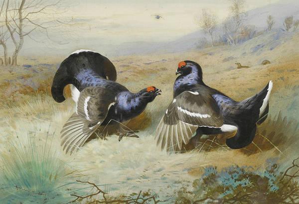 Painting - Blackcocks At The Lek by Archibald Thorburn