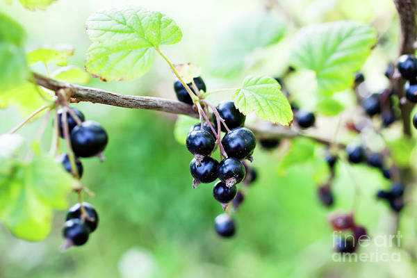 Wall Art - Photograph - Blackcurrant by Kati Finell