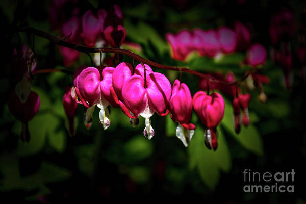 Photograph - Bleeding Hearts by William Norton