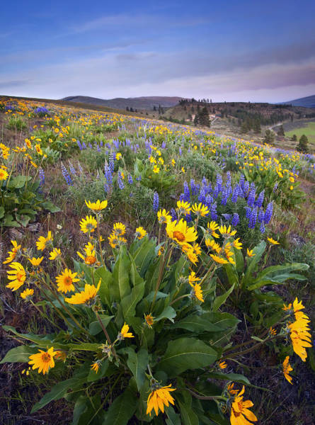 Lupines Photograph - Blue And Gold by Mike  Dawson