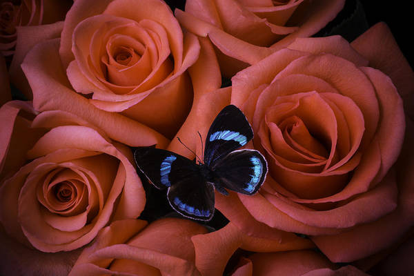 Red Roses Photograph - Blue Black Butterfly by Garry Gay