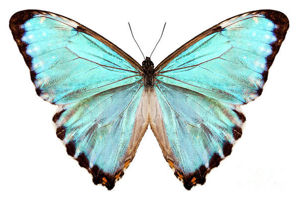 Arthropods Painting - blue butterfly species Morpho portis thamyris by Pablo Romero