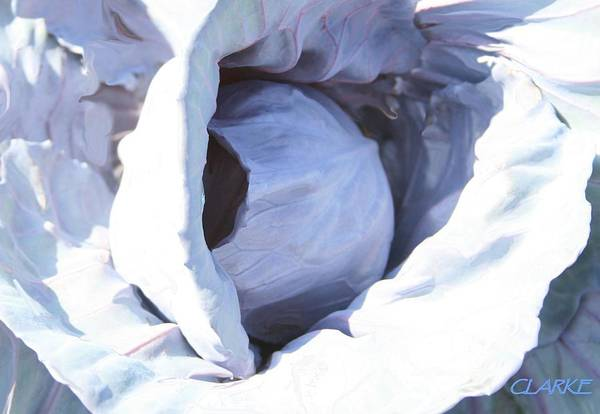 Photograph - Blue Cabbage by Jean Clarke