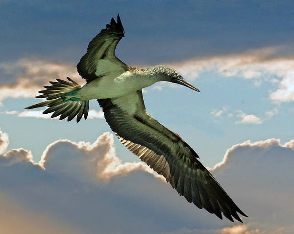 Blue Footed Booby Wall Art - Photograph - Blue-footed Booby by Larry Linton