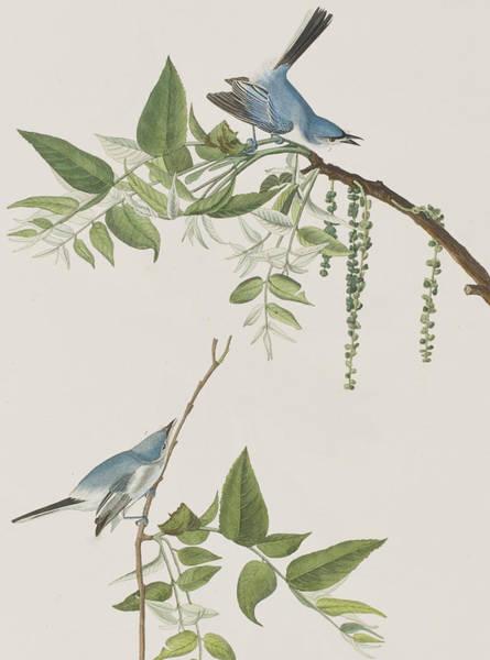 Flycatcher Painting - Blue Grey Flycatcher by John James Audubon
