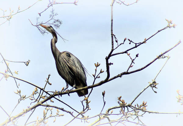Photograph - Blue Heron by Cameron Wood