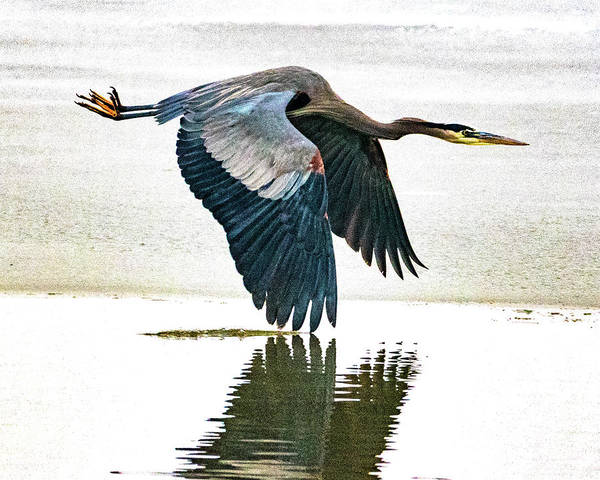 Photograph - Blue Heron by Norman Hall