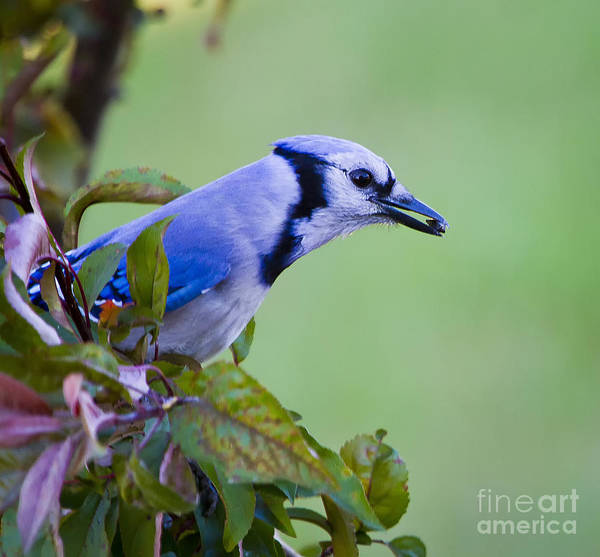 Photograph - Blue Jay by Ricky L Jones