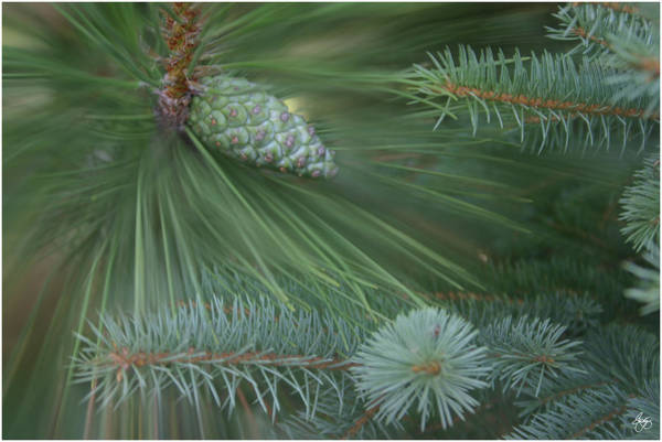 Photograph - Blue Spruce And Pitch Pine by Wayne King