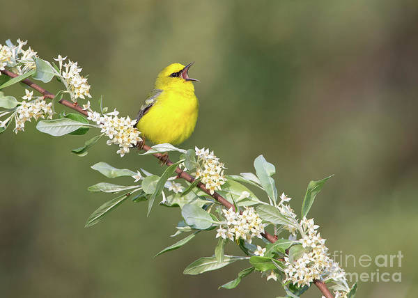 Photograph - Blue-winged Warbler by Joshua Clark